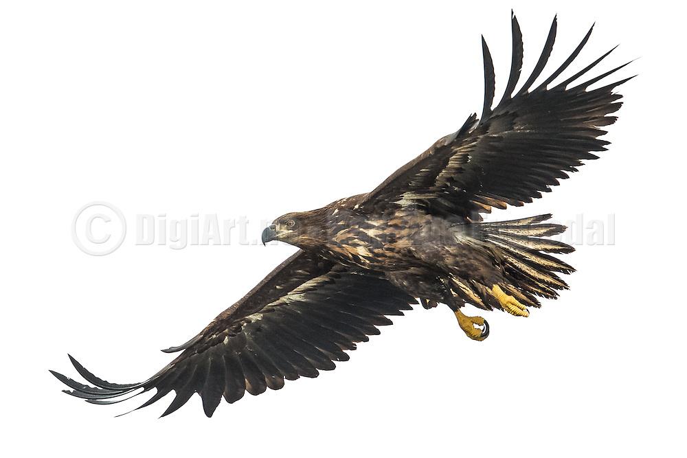 White-tailed Eagle floating in the air, captured today from boat, Herøy, Norway | Havørn som svever i luften, Tatt fra båt idag. Herøy, Norge.