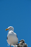 western gull, Larus occidentalis, with chicks, on top of shipping container in parking lot, just off highway, Moss Landing, California, United States