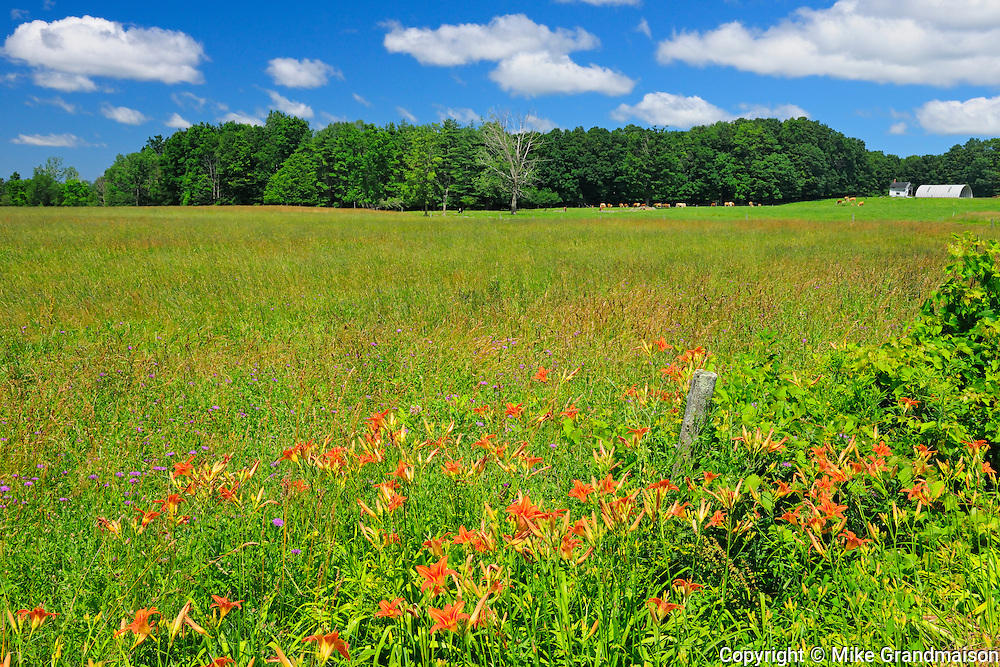 Wood lilies in farmland<br /> St. Armand<br /> Quebec<br /> Canada