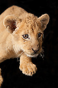 An two month old african lion cub (Panthera leo) at the Chipangali Wildlife Orphanage in Bulawayo, Zimbabwe.