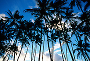 Coconut Trees<br />