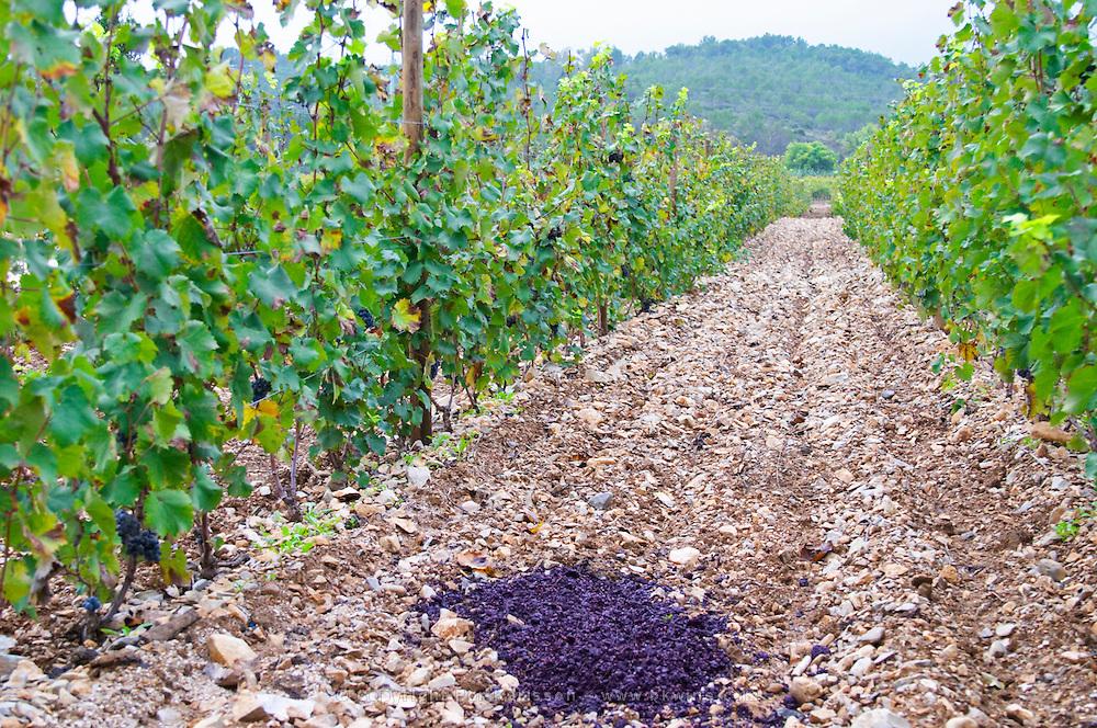Domaine Haut-Lirou in St Jean de Cuculles. Pic St Loup. Languedoc. Terroir soil. France. Europe. Vineyard. Wine press leftovers marc put as fertilizer in the vineyard. Soil with stones rocks.