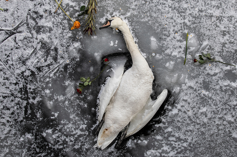 The carcass of a swan lies in the ice of the frozen Landwehr Canal in Berlin, Germany, February 13, 2021. It appears people scattered flowers from a bridge above the frozen canal. Germany is experiencing extreme winter weather as part of a polar vortex, with temperatures going well beneath freezing.