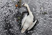 20210213 Swan dies in frozen canal in Berlin