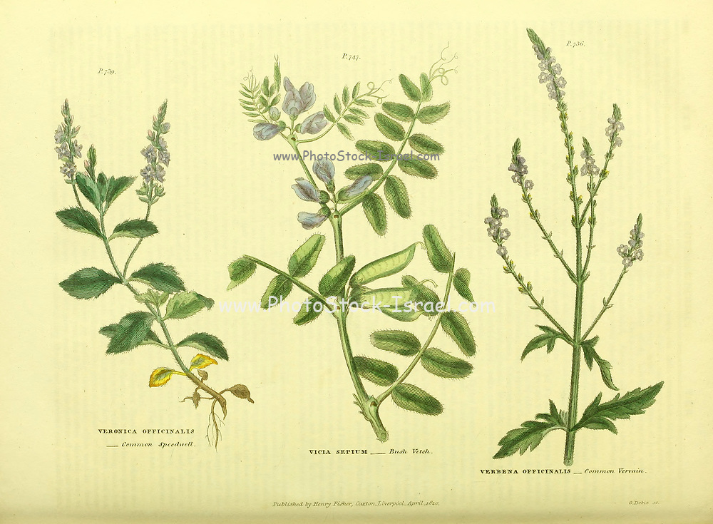 Veronica officinalis [Common Speedwell] Vicia sepium [Bush Vetch] Verbena officinalis [Common Vervain] from Vol II of the book The universal herbal : or botanical, medical and agricultural dictionary : containing an account of all known plants in the world, arranged according to the Linnean system. Specifying the uses to which they are or may be applied By Thomas Green,  Published in 1816 by Nuttall, Fisher & Co. in Liverpool and Printed at the Caxton Press by H. Fisher