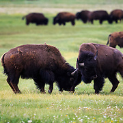 Two Bison bulls fighting in the Antelope Flats region of Grand Teton National Park near Jackson, Wyoming.