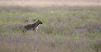 Spotted Hyena, Crocuta crocuta, in Ngorongoro Crater, Ngorongoro Conservation Area, Tanzania. Behind it is a Black-backed Jackal, Canis mesomelas.