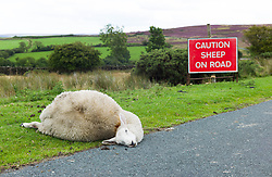 © Licensed to London News Pictures.15/08/15<br /> Rosedale, UK. <br /> <br /> A sheep lies dead by the side of the road after being hit by a car on the North Yorkshire Moors. Sheep deaths and injuries are very distressing and costly for moorland farmers. Last year it is estimated that some 239 sheep and lambs were killed on the roads on the North York Moors.<br /> <br /> <br /> Photo credit : Ian Forsyth/LNP