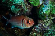 Blackbar Soldierfish (Myripristis jacobus)<br /> BONAIRE, Netherlands Antilles, Caribbean<br /> HABITAT & DISTRIBUTION: Dark recesses<br /> Florida, Bahamas, Caribbean, Bermuda, Gulf of Mexico south to Brazil & East Atlantic