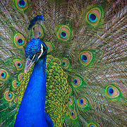 India blue peacock displaying feathers.