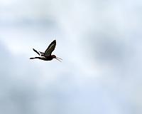 Black-tailed Godwit (Limosa limosa). Akureyri, Iceland. Image taken with a Nikon Df camera and 300 mm f/2.8 VR lens.
