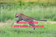Leopard leaps across stream in wetlands along the Chobe River, Chobe National Park, Botswana, [LIMITED EDITION PRINTS WILL BE AVAILABLE, other uses are restricted, please contact me for more info.] © David A. Ponton