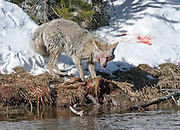 A coyote (latin: Canis latrans) feeds on a young bison in early spring along the Firehole River in Yellowstone National Park, Wyoming.