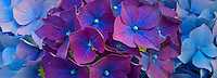 blue-purple hydrangea flowers