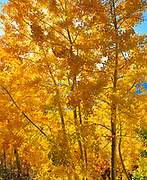 Aspens alongRush Creek,Inyo National Forest, California