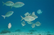 Chub Bermuda/Yellow (Kyphosus sectatrix/incisor)<br /> BONAIRE, Netherlands Antilles, Caribbean<br /> HABITAT & DISTRIBUTION: Schools swim over reefs & along walls.<br /> Florida, Bahamas, Caribbean, north to Massachusetts, Bermuda & south to Brazil.