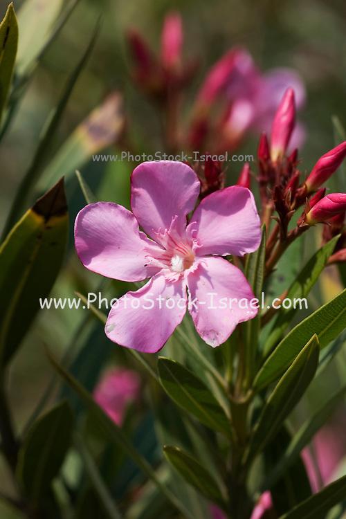 Flowering pink Oleander (Nerium oleander) bush. Photographed in Israel in May