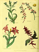 Anchusa [Dyer's Alkanet] Amygdalus [Dwarf Almond] Amaryllis [Belladonna Lilly] Amaranthus [Bloody Amaran or amaranths]from Vol 1 of the book The universal herbal : or botanical, medical and agricultural dictionary : containing an account of all known plants in the world, arranged according to the Linnean system. Specifying the uses to which they are or may be applied By Thomas Green,  Published in 1816 by Nuttall, Fisher & Co. in Liverpool and Printed at the Caxton Press by H. Fisher