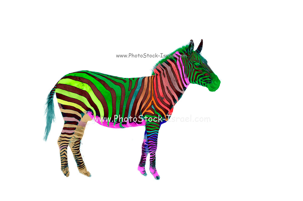 Digitally enhanced image of a multi colored painted plains zebra on white background