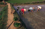 Rice replanting, Mekong Delta near Can Tho