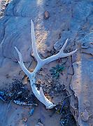 Shed Mule Deer, Odocoileus hemionus, antler on bed of Navajo Sandstone, Arches National Park, Utah.