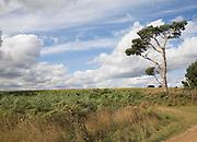 Cumulus clouds in summer blue sky over rural Suffolk Sandlings landscape, Sutton, Suffolk, England