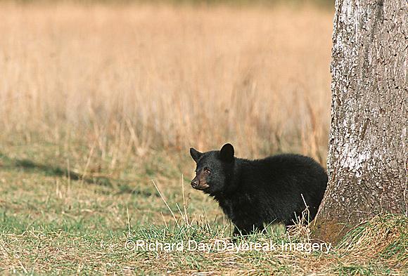 01872-005.07  Black Bear (Ursus americanus) cub Great Smoky Mountains NP  TN