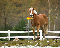 I don't think this horse quite understood what all the hoopla was about - was he was enjoying it just the same!  (Karen Bobotas/for the Laconia Daily Sun)