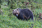 An grizzly bear cow feasts on dandelions along the banks of Lake Louise in Banff National Park in Alberta, Canada.