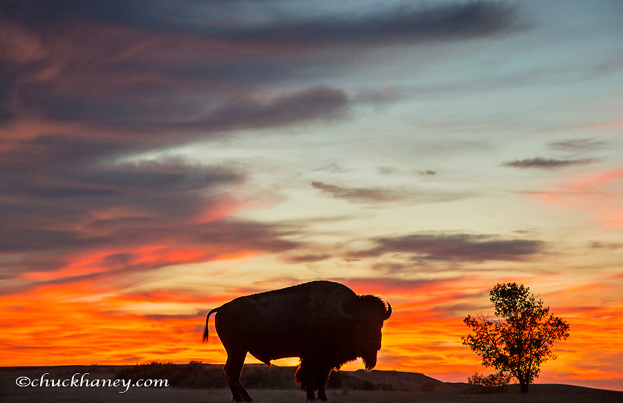 Bison bull silhouetted against a brilliant sunset in Theodore Roosevelt National Park, North Dakota, USA
