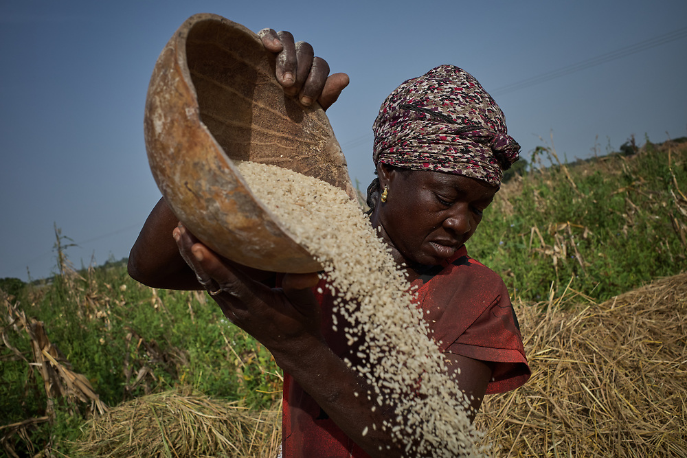 27/10/2019 Kpatia, Ghana: <br /> Talata Musa winnows rice she recently harvested from her farm. Kpatia, Ghana. Talata is the Musa's first wife.