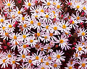 Spring bloom of Dwarf Aster, Townsendia incana, Capitol Reef National Park, Utah.