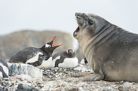 Gentoo Penguins protecting their nests against a Elephant seal pup making problems as it moves through the rookery on the South Shetland Islands in Antarctica.