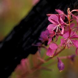 Tok, AK..Fireweed, Eplilbium angustifolium, helps define Alaska in summertime...