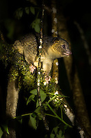 A Olinguito (Bassaricyon neblina) in a tree at night. Seen outside Mindo in the Tandayapa Valley in Ecuador.