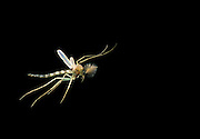 A male (note: plumed antenna) mosquito (Culicidae spp.) in flight at night on the Sauvie Island State Wildlife Preserve, Oregon.<br /> . Male moquitos do not bite. Please note: This image has been cropped and anothe insect was digitally removed from the background. <br /> A male (note: plumed antenna) mosquito (Culicidae spp.) in flight at night on the Sauvie Island State Wildlife Preserve, Oregon.<br /> September 2003. Male moquitos do not bite. Please note: This image has been cropped and anothe insect was digitally removed from the background.