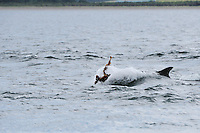Bottle-nosed Dolphin playing with kelp,<br /> Tursiops truncatus,<br /> Moray Firth, Nr Inverness, Scotland - June