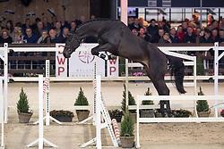 046, Q-Mandor<br /> Hengstenkeuring BWP - Lier 2019<br /> © Hippo Foto - Dirk Caremans<br /> 18/01/2019