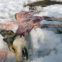 North of the Arctic Circle in Russia, a wayward dog from a nearby community lies skinned and dead after chasing reindeer herded by the nomadic Komi people.