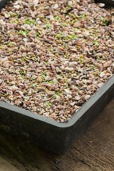 Germinated seed of Primula vulgaris