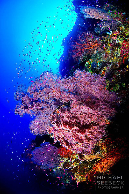 An underwater photograph of gorgonian fans deep on a vertical wall at Christmas Island.<br /> <br /> Limited Edition print