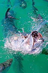 tarpon, feeding frenzy, Megalops atlanticus, Islamorada, Florida Keys National Marine Sanctuary, Atlantic Ocean