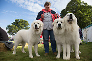Three Pyrenean Mountain Dogs, also known as the Great Pyrenees, at the dog show, an essential element of the 'Pateley Show', as the Nidderdale Show is affectionately known, is a traditional Dales agricultural show for the finest livestock, produce and crafts in the Yorkshire Dales. Held in the picturesque surrounds of Bewerley Park, Pateley Bridge, is one of the county's foremost shows. It regularly attracts crowds of 17,000 and traditionally marks the end of the agricultural show season.