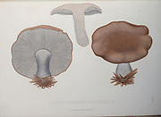 Agaricus [Tricholoma] personatus Mushrooms, Pathogenic fungi from the book Sveriges ätliga och giftiga svampar tecknade efter naturen under ledning [Sweden's edible and poisonous mushrooms drawn after nature under guidance] By Fries, Elias, 1794-1878; Kungl. Svenska vetenskapsakademien Published in Stockholm, Sweden in 1861