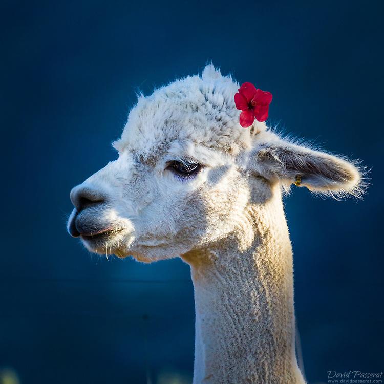 Lady Lama