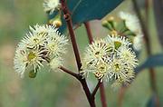 Eucalyptus Flowers of Scribbly Gum, Eucalyptus rossii, Australia