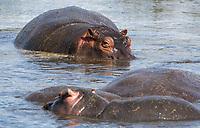 Hippopotamuses, Hippopotamus amphibius, in  a pond in Ngorongoro Crater, Ngorongoro Conservation Area, Tanzania
