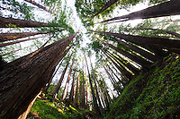 Wide Angle Looking up from a Coastal Redwood Forest. Image taken with a Nikon D3x and 14-24 mm f/2.8 lens (ISO 100, 14 mm, f/16, 2.5 sec). Raw image converted using Adobe Camera Raw 6.2 (landscape and used lens correction).
