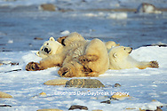 01874-08519 Polar Bears (Ursus maritimus) lying down  Churchill  MB