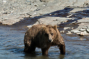 A sub-adult Grizzly bear boar fishes for chum salmon in the lower McNeil River falls at the McNeil River State Game Sanctuary on the Kenai Peninsula, Alaska. The remote site is accessed only with a special permit and is the world's largest seasonal population of brown bears.